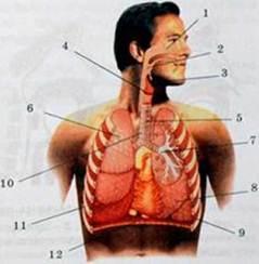 Главная функция дыхательной системы это