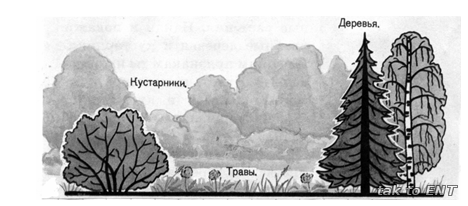 Схема ярусов леса.